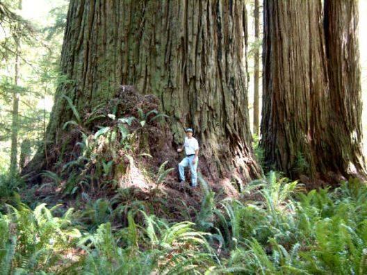 Pohon tertinggi di dunia, Hyperion